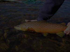 beautiful colred trout