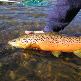 Fall colored Brown Trout from Big Hole River